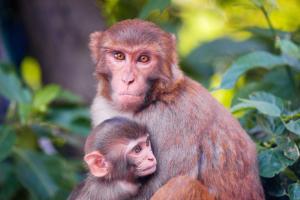 A csimpánzok fogazatának fejlődése és az anyatej elhagyás között nincs olyan mértékű kapcsolat, mint azt régen gondolták