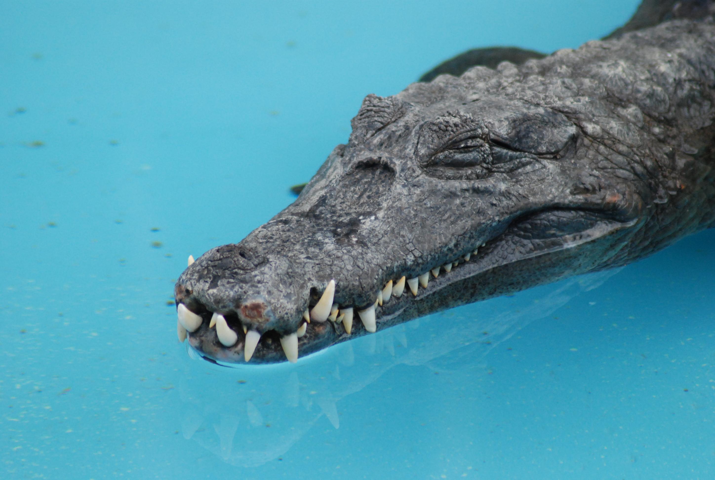 Alligátorok jelenthetik a kulcsot az elveszett fogak újranövesztéséhez