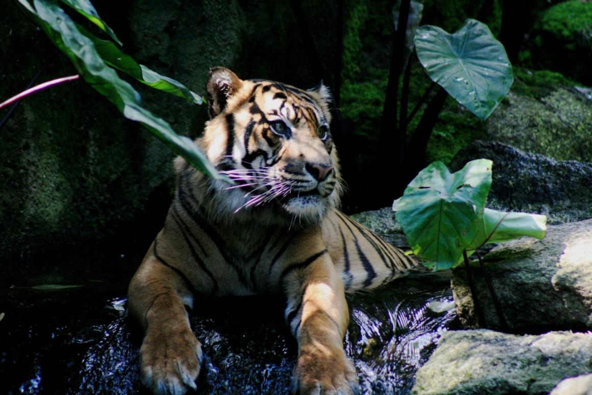 Magyar fogorvos tömte be a szumátrai tigris zápfogait