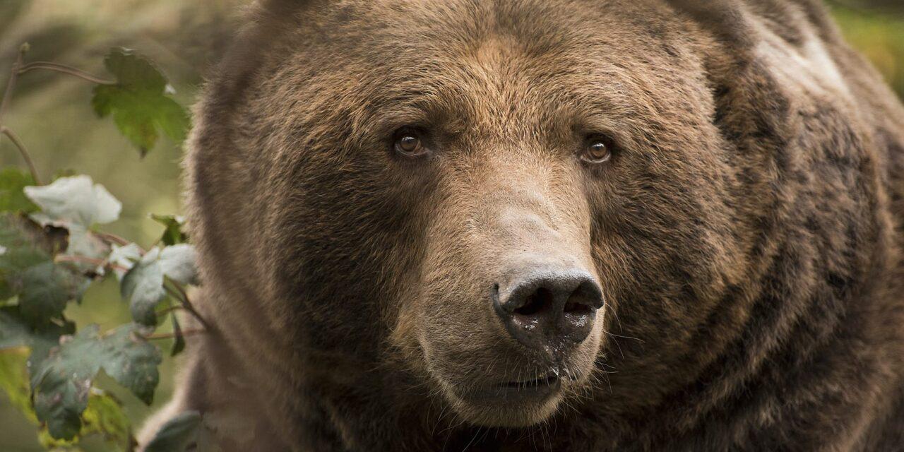 Gyökérkezelésen esett át egy barna medve